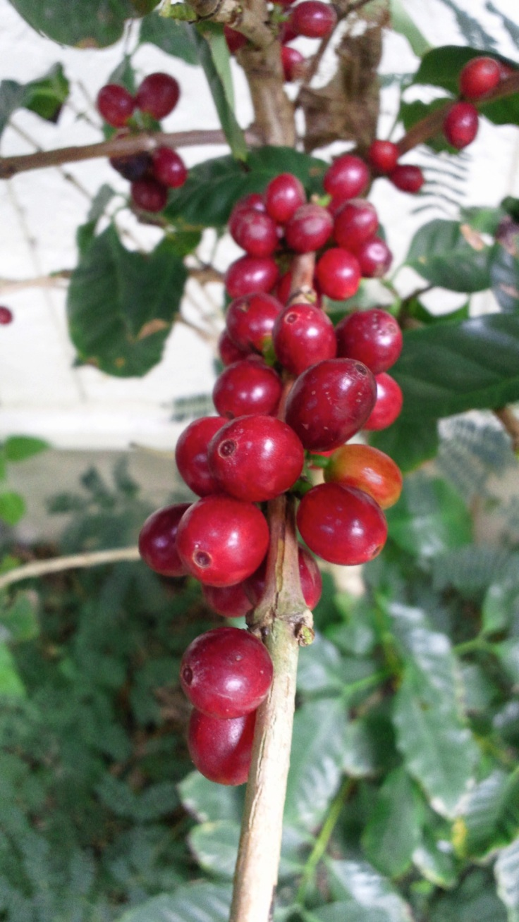 ripe coffee cherry